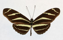 Heliconius charithonia  - the zebra longwing  butterfly